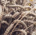 Пшеница озимая Турандот