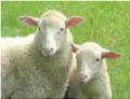 Сельскохозяйственные животные: овцы племенные