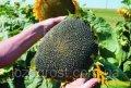 Семена подсолнечника Гранд Адмирал (толерантный к гранстару)
