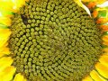 Семена подсолнечника Оливер