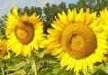 Семена подсолнечника Фолк (толерантен к гранстару)