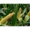 Семена кукурузы Лелека МВ