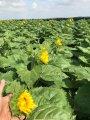 Семена подсолнечника ЕС БЕРЕКЕТ (под ЕвроЛайтинг)