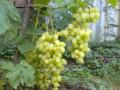 Виноград розовый мускатный, Ливия, Розмус, Хамелеон