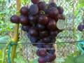 Виноград черный жёлтый