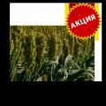 Насіння сорго звичайного зернового Зуні / Tzuni, 65-80 діб