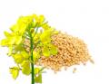 Семена горчицы желтой сорт Талисман
