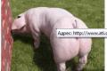 Свиньи племенные. Беконная порода.От 120 кг.