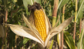 Насіння кукурудзи гібрид DN RUTA (ФАО 280)