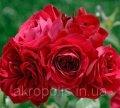 Роза Sympathie(Симпати)