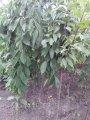 Штамбовая Плакучая Вишня ПЕНДУЛА | Prunus subhirtella Pendula