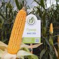 Семена кукурузы Гунор, ФАО 350