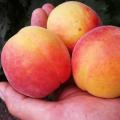 Ранний абрикос Эрли блаш