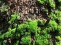 Масло эфирное - дубовый мох, резиноид