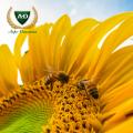 Семена подсолнечника НС Х 6376 (Солярис) Сады Украины