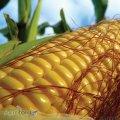 Семена кукурузы Гран 220 / п.о.