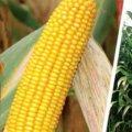 Насіння кукурудзи Луіджі