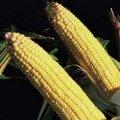 Насіння кукурудзи Кларіті КС