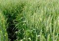 Насіння пшениці Овідій (еліта)