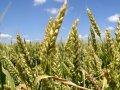 Насіння пшениці Етюд