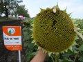 Насіння соняшника НС-Х-498