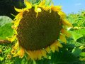 Насіння соняшника Флорімі**