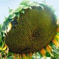 Насіння соняшника Мішель
