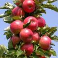 Саджанці яблунь