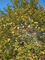 Саженцы грецкого(волоського) ореха сорт Памяти Затокового