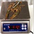 Раки живые крупные 80-100 грамм