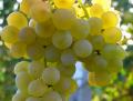Ароматизатор пищевой Виноград зелёный