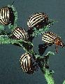 Биоиактиватор ЛУЧ - 03 - препарат нового поколения по борьбе с колорадским жуком и различными вредителями, а также садово-огородных заболеваний где раствор обработанный магнитным лазером вводится в корневую систему методом полива и опрыскивания