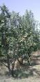 Саженцы яблонь и других фруктовых деревьев