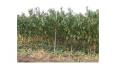 Саженцы персика и других фруктовых деревьев