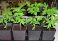 Sale of cassette seedling of vegetables - tomato, pepper, cabbage, an eggplan