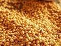 Семена сои сорта Максус (Раундап)