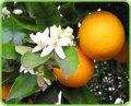 Апельсина эфирное масло