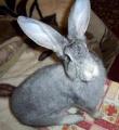 Продаю кроликов породы серый великан