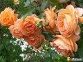 Розы эфирное масло