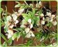 Чайного дерева эфирное масло, идентичное натуральному