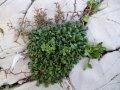 Морская лаванда, водно-глицериновый экстракт Agrimer