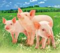 Премиксы 1-5% для свиней П21-5SV+