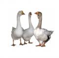 Нормы откорма гусей