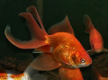Золотая рыбка: веерохвост