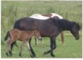 Конь породы Гуцул