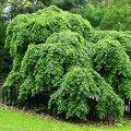 "Saplings: The elm is poecilophyllous, curly pyramidal, broad-leaved, ""Pendul"