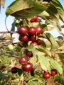 Саженцы: яблоня ягодная декоративная (райская), Недзвецкого, пурпурная «Пендуля, «Райка».