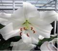 Garden to buy lilies