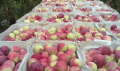 Яблоки Слава Победителю