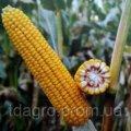 Семена кукурузы Пивиха ФАО 190
